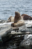 Φύση Kamchatka: Βόρειο λιοντάρι θάλασσας ή λιοντάρι θάλασσας Steller Στοκ Εικόνες