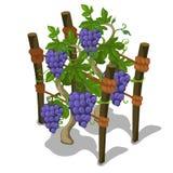 Φύτευση και καλλιέργεια του σταφυλιού διάνυσμα απεικόνιση αποθεμάτων