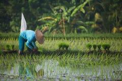 Φύτευση ρυζιού Στοκ Εικόνες