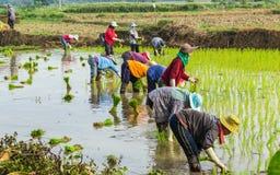 Φύτευση ρυζιού στοκ εικόνα με δικαίωμα ελεύθερης χρήσης