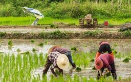 Φύτευση ρυζιού στοκ φωτογραφίες με δικαίωμα ελεύθερης χρήσης