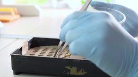 Φύτευση στο εργαστήριο Δοκιμή της βλάστησης του σιταριού απόθεμα βίντεο
