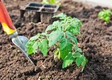 Φύτευση της ντομάτας στοκ φωτογραφία με δικαίωμα ελεύθερης χρήσης