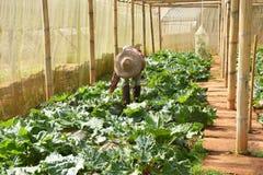 Φύτευση της Farmer του λαχανικού στο φυτικό θερμοκήπιο 2 Στοκ φωτογραφία με δικαίωμα ελεύθερης χρήσης