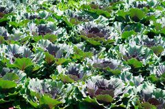 Φύτευση του διακοσμητικού λάχανου στοκ φωτογραφίες