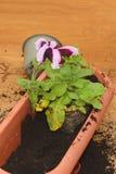 Φύτευση του λουλουδιού πετουνιών Στοκ εικόνες με δικαίωμα ελεύθερης χρήσης