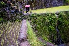 Φύτευση του ρυζιού στα πεζούλια ρυζιού Banaue, Φιλιππίνες Στοκ Φωτογραφία