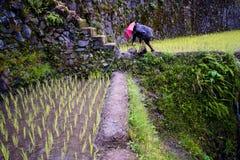 Φύτευση του ρυζιού στα πεζούλια ρυζιού Banaue, Φιλιππίνες Στοκ εικόνα με δικαίωμα ελεύθερης χρήσης