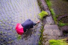 Φύτευση του ρυζιού στα πεζούλια ρυζιού Banaue, Φιλιππίνες Στοκ φωτογραφία με δικαίωμα ελεύθερης χρήσης