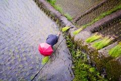 Φύτευση του ρυζιού στα πεζούλια ρυζιού Banaue, Φιλιππίνες Στοκ Εικόνα