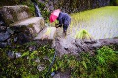 Φύτευση του ρυζιού στα πεζούλια ρυζιού Banaue, Φιλιππίνες Στοκ Εικόνες