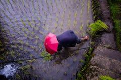 Φύτευση του ρυζιού στα πεζούλια ρυζιού Banaue, Φιλιππίνες Στοκ εικόνες με δικαίωμα ελεύθερης χρήσης