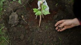 Φύτευση των βακκινίων στο φρέσκο χώμα φιλμ μικρού μήκους