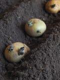 Φύτευση των βλαστημένων βολβών των πατατών στις κορυφογραμμές φυτό των πατατών Στοκ εικόνες με δικαίωμα ελεύθερης χρήσης