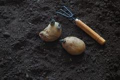 Φύτευση των βλαστημένων βολβών των πατατών στις κορυφογραμμές φυτό των πατατών Στοκ Φωτογραφίες