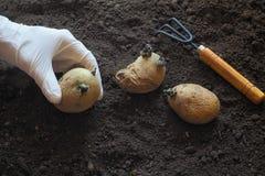 Φύτευση των βλαστημένων βολβών των πατατών στις κορυφογραμμές φυτό των πατατών Στοκ φωτογραφία με δικαίωμα ελεύθερης χρήσης