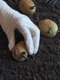 Φύτευση των βλαστημένων βολβών των πατατών στις κορυφογραμμές φυτό των πατατών Στοκ φωτογραφίες με δικαίωμα ελεύθερης χρήσης