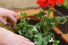 Φύτευση των λουλουδιών πετουνιών Στοκ φωτογραφία με δικαίωμα ελεύθερης χρήσης