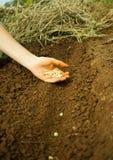 Φύτευση των σπόρων μπιζελιών Στοκ φωτογραφία με δικαίωμα ελεύθερης χρήσης