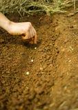 Φύτευση των σπόρων μπιζελιών Στοκ εικόνα με δικαίωμα ελεύθερης χρήσης
