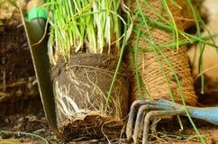 Φύτευση των φρέσκων κρεμμυδιών με την τσουγκράνα κήπων trowel και χεριών Στοκ φωτογραφία με δικαίωμα ελεύθερης χρήσης