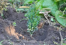Φύτευση των φρακτών πυξαριού στον κήπο στοκ φωτογραφίες με δικαίωμα ελεύθερης χρήσης