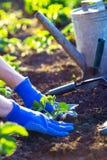 Φύτευση των φραουλών στον κήπο στοκ φωτογραφία με δικαίωμα ελεύθερης χρήσης