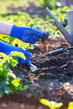 Φύτευση των φραουλών στον κήπο στοκ εικόνες με δικαίωμα ελεύθερης χρήσης