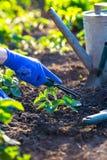 Φύτευση των φραουλών στον κήπο στοκ εικόνες