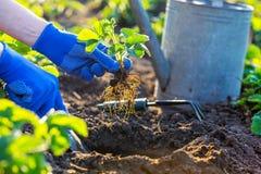 Φύτευση των φραουλών στον κήπο στοκ εικόνα με δικαίωμα ελεύθερης χρήσης