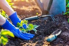 Φύτευση των φραουλών στον κήπο στοκ φωτογραφίες με δικαίωμα ελεύθερης χρήσης