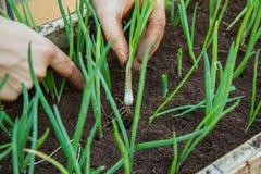 Φύτευση των χορταριών στο χώμα Στοκ Εικόνα