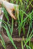 Φύτευση των χορταριών στο χώμα Στοκ εικόνα με δικαίωμα ελεύθερης χρήσης