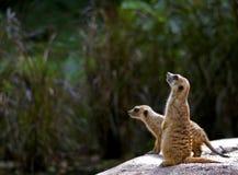 Meerkat, Σιγκαπούρη Στοκ Εικόνες