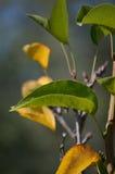 Φύλλα δέντρων αχλαδιών Στοκ Εικόνες