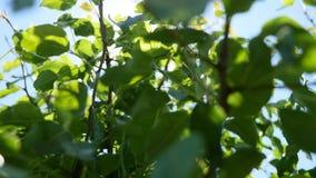 Φύλλα δέντρων ενάντια στην ηλιοφάνεια απόθεμα βίντεο