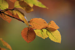 Φύλλα δέντρων οξιών Στοκ Φωτογραφίες