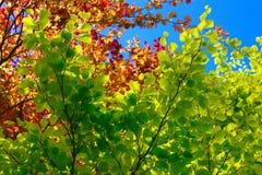 Φύλλα δέντρων οξιών Στοκ Εικόνες