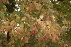 Φύλλα δέντρων σφενδάμνου που αλλάζουν τα χρώματα Στοκ Φωτογραφία