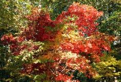 Φύλλα δέντρων σφενδάμνου Στοκ εικόνα με δικαίωμα ελεύθερης χρήσης