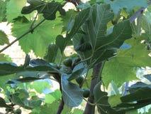 Φύλλα δέντρων σύκων ANG σταφυλιών στοκ φωτογραφίες με δικαίωμα ελεύθερης χρήσης
