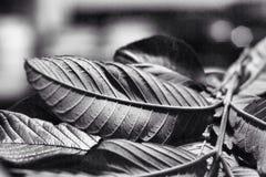 Φύλλα δέντρων χωρίς χρώμα Στοκ Φωτογραφίες