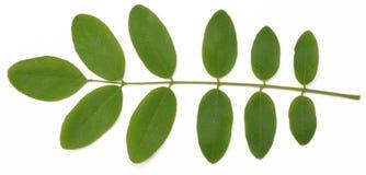 Φύλλα ακακιών σε ένα άσπρο υπόβαθρο Στοκ Φωτογραφίες