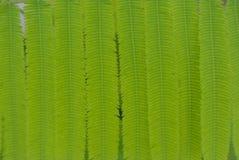 Φύλλα ακακιών Στοκ Φωτογραφία