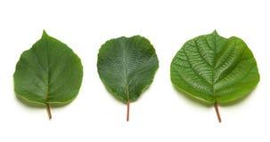 Φύλλα ακτινίδιων Στοκ Εικόνες