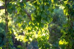 Φύλλα αμπέλων το πρωί Στοκ φωτογραφίες με δικαίωμα ελεύθερης χρήσης