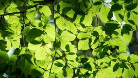 Φύλλα αναδρομικά φωτισμένα από τον ήλιο Στοκ Εικόνες