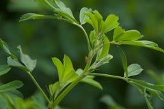 Φύλλα αλφάλφα στοκ φωτογραφία με δικαίωμα ελεύθερης χρήσης