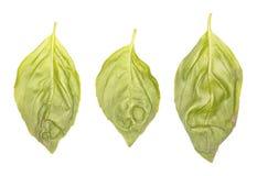 Φύλλα βασιλικού Στοκ Εικόνες