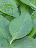 Φύλλα βασιλικού Στοκ Εικόνα
